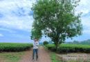 Quyến luyến với thị trấn nông trường Mộc Châu
