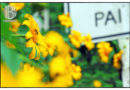 Rực rỡ mùa hoa dã quỳ ở miền bắc Thái Lan